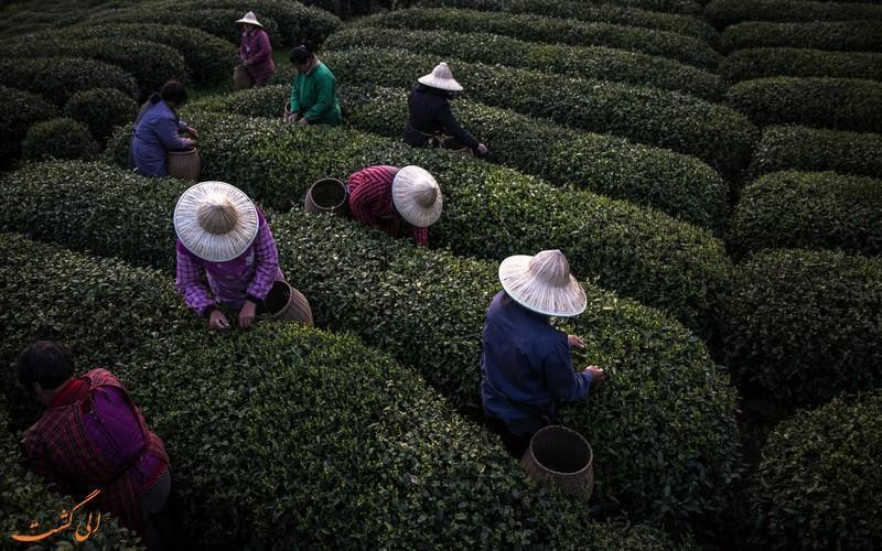آشنایی با مزارع چای در چین