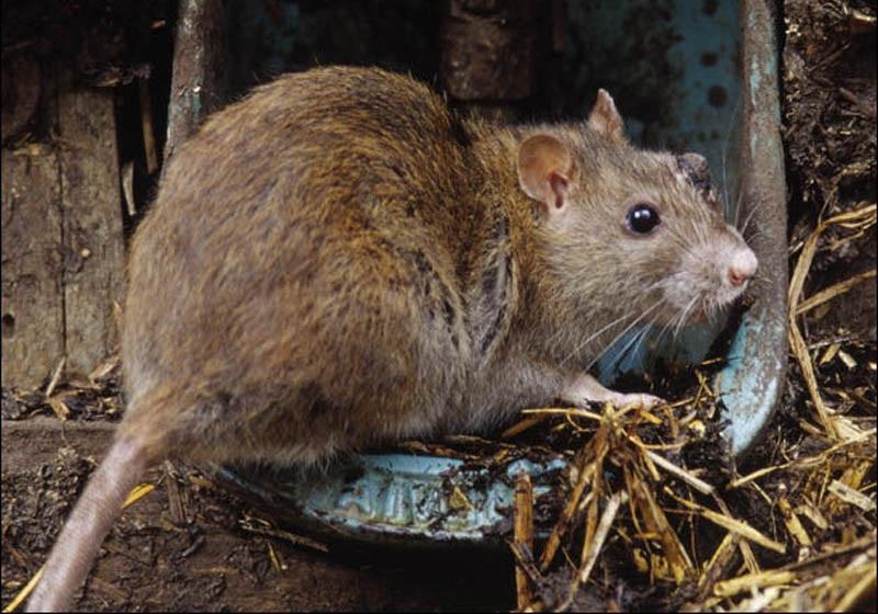 افزایش جمعیت موش ها در نیویورک